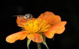 Insecte sur la fleur orange Image libre de droits