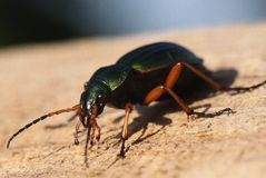 Insecte sur la pierre Photo stock