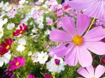 Insecte sur le gisement de fleurs de cosmos Photo stock