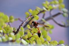Insecte sur le jade Images libres de droits