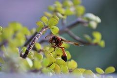 Insecte sur le jade Image stock