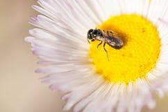 Insecte sur les bourgeons image libre de droits