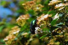 Insecte sur un pissenlit Photos libres de droits