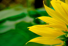 Insecte sur un tournesol jaune Image libre de droits