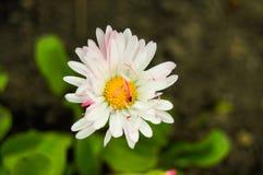 Insecte sur une fleur blanche image libre de droits