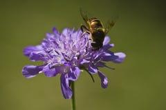 Insecte sur une fleur pourpre Image libre de droits