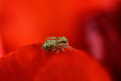 Insecte sur une fleur rouge Image stock