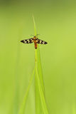 Insecte sur une lame d'herbe Photos libres de droits