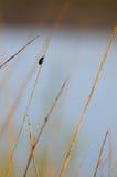 Insecte sur une lame d'herbe image libre de droits