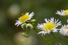 Insecte sur une marguerite des prés  Photo libre de droits