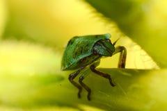 Insecte vert à l'ombre Image libre de droits
