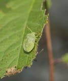 Insecte vert Photographie stock libre de droits