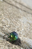 Insecte vert Photos libres de droits