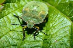 Insecte vert avec les yeux rouges photo stock