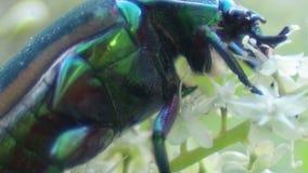 Insecte vert dévorant une fleur banque de vidéos