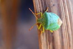Insecte vert de bouclier dans le jardin du R-U images stock