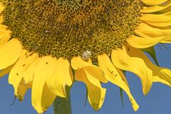 Insecte vert de bouclier sur un tournesol géant jaune photographie stock