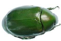 Insecte vert de coléoptère d'isolement sur le blanc Photo stock
