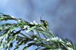 Insecte vert de dame Image libre de droits