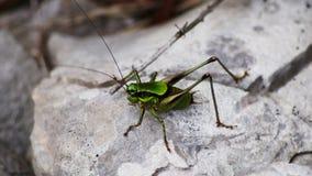 Insecte vert de sauterelle Photos libres de droits