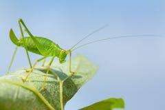 Insecte vert de sauterelle sur la feuille avec le ciel photos libres de droits