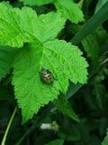 Insecte vert du sud de bouclier images libres de droits