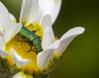 Insecte vert en fleur Photo libre de droits
