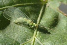 Insecte vert sur la feuille verte Photos libres de droits