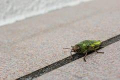 Insecte vert sur le plancher dans l'Okinawa, Japon Photos stock
