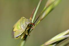 Insecte vert sur une lame Photo libre de droits