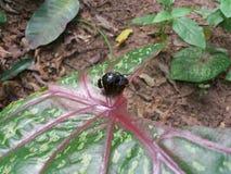Insecten die in regenwoud copulating Stock Foto