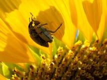 Insecten en de Bloem van de Zon Royalty-vrije Stock Afbeelding