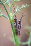 Insecten grote antennes die geslacht voor reproductie hebben Royalty-vrije Stock Afbeelding