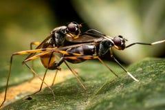 Insecten het Koppelen Royalty-vrije Stock Foto's