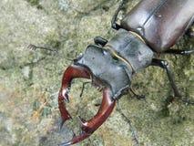 Insecten met mooie hoornen! Pict van Bosnië Stock Afbeelding