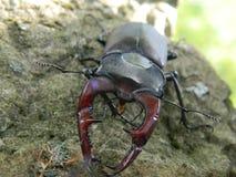 Insecten met mooie hoornen! Pict van Bosnië Royalty-vrije Stock Foto's