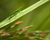 Insecten op de bladeren op rijstinstallatie, het mooie wild in natur stock afbeelding