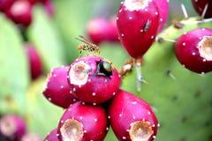 Insecten op een cactus Royalty-vrije Stock Afbeeldingen