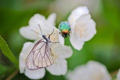 Insecten op Jasmijnbloemen Stock Fotografie