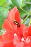Insecten in rode bloemen Stock Foto's