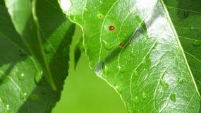 Insectenbeten en ziekte Stock Foto