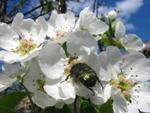 Insectenjunikever met mieren op een tot bloei komende bloem in de lente Stock Fotografie