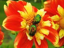 Insectes brillants verts Photographie stock
