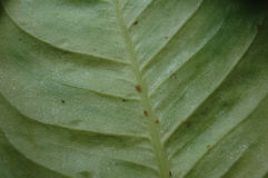 Insectes d'échelle sur une feuille Photo stock