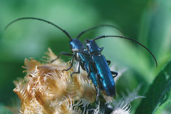 Insectes d'amour. Deux coléoptères se reposant sur une centrale Photo libre de droits