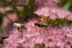 Insectes d'orpin Images libres de droits