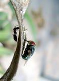 Insectes dans le bord opposé Photo stock