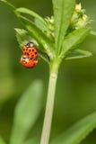 Insectes de accouplement de dame Photos stock