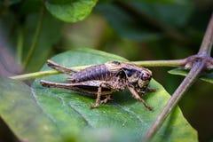Insectes de cricket Image stock
