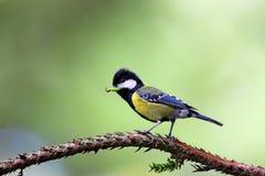 Insectes de Diao attendant les oiseaux de parent pour alimenter Photographie stock